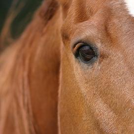 Aanhoudingen in zaak fraude paardenpaspoorten bij slachterij