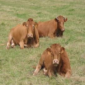 Vleesdief slacht Limousin in weiland