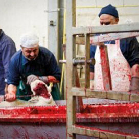 Nederland krijgt opleiding tot halal-slachter