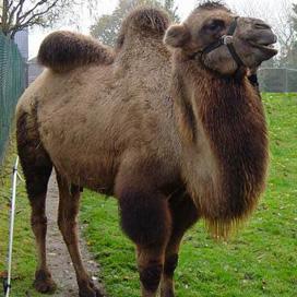 Broodje kameel bij de slager