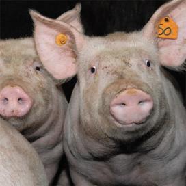 NVV start offensief voor het Nederlandse varken