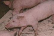 'Vlees duurder door verdoofd castreren