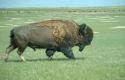 Vraag naar bizonvlees stijgt