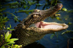 Alligatorvlees gewild in Louisiana