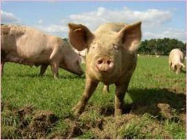 Verburg wil meer scharrelvarkensvlees in de schappen