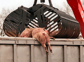 Nieuwe dierziekte grootste bedreiging vleessector