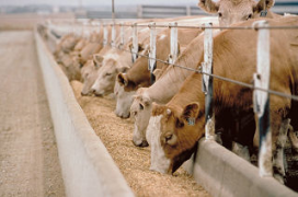Feedlot-vlees schoner dan grasgevoerde biefstuk