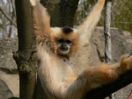 Stel maakt apengehaktballen