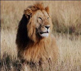 Leeuwenvlees leidt tot protesten
