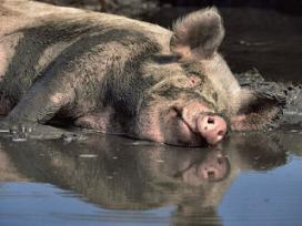 Biologische varkenshouderij in Denemarken groeit