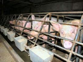 Licht herstel vleesvarkenshouderij