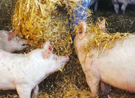 Blijvend ruimte voor varkenshouderij