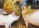 NVV en LTO pleiten bij kabinet voor ruimte varkenshouderij