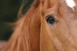 Slachthuis fraudeert met paardenpaspoorten