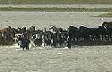 Dierenpartij gruwelt van slacht geredde paarden