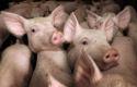 Sector-pr bundelt krachten in 'Varkens horen bij Nederland'