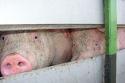 Vrachtauto met varkens bijna uur in volle zon: boete