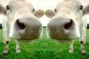 Japan overweegt kloonvlees toe te staan