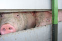 'Overleg nodig over slaghameren varkens