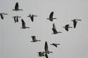 Schiphol-ganzen naar de poelier