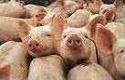Salmonella bij een op tien varkens