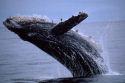 Politie houdt dieven walvisvlees aan