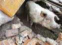Varken overleeft 36 dagen in Chinees puin