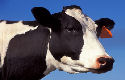 Man heeft seks met 400 koeien