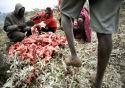 Vleesetende Masaï kennen geen hartziekten
