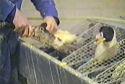 'Geen verbod dwangvoeding voor foie gras