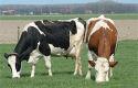 Rundertuberculose ontdekt in België