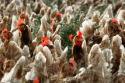Kippenboeren: schade minimaal 150 miljoen