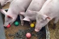 Naleving welzijnsregels bij varkenshouders van 60 naar 74 procent