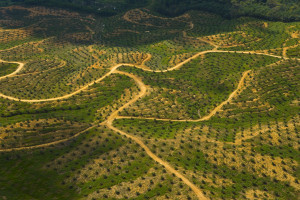 Palmolieplantage, Sabah, Borneo, Maleisië. Foto: Juan Carlos Munoz   2007