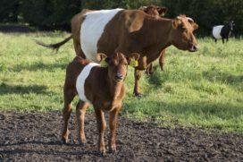 COV voert gedragscode Vleessector in
