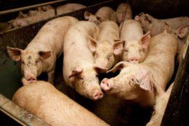 Varkensslachthuis verliest vergunning na misstanden