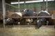 Vleesveehouders in verweer tegen mestplan