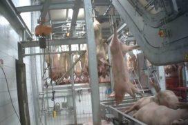 Varkens in Nood: 'Beloning van €3000 voor klokkenluider slachterij'