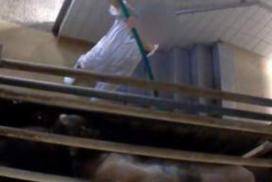 Nieuwe gruwelbeelden uit Belgisch slachthuis