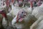 Wakker Dier: 'Supermarkten stappen over op sterkalkoen'